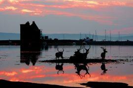Red Deer at Lochranza